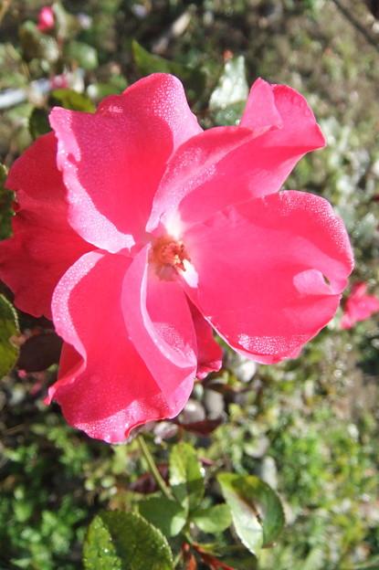 秋薔薇 2