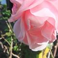 秋薔薇 3