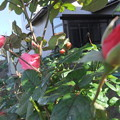 秋薔薇 5