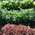 家庭菜園の 蕪、春菊、サニーレタス