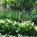 家庭菜園の太ネギと蕪