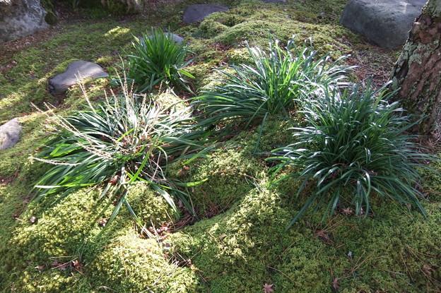 彼岸花の葉