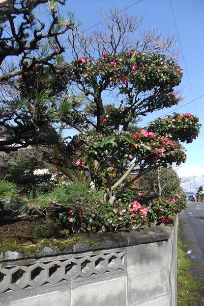 山茶花の木 2