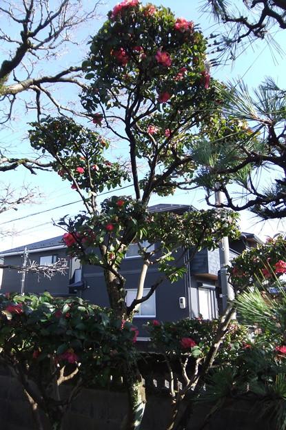 山茶花の木 2-2