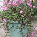 フクロナデシコ の花が垂れて