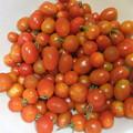 採れたミニトマト