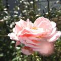 薔薇の花 2