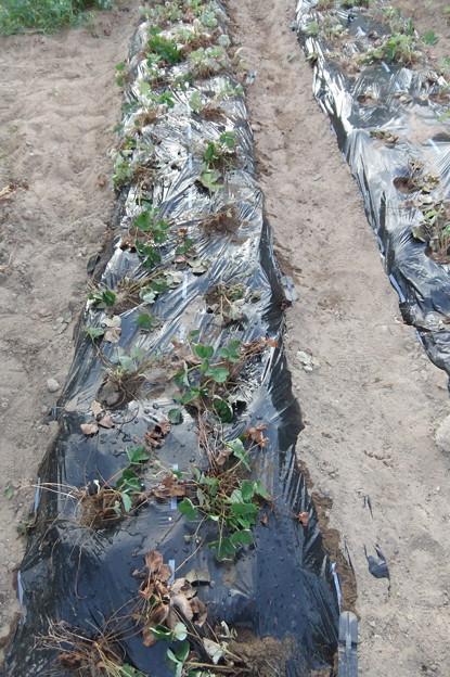苺の植え替え