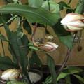 月下美人の花が10個咲きました