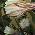月下美人の花が10個咲きました 4