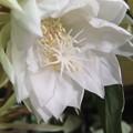 月下美人の花が10個咲きました 5
