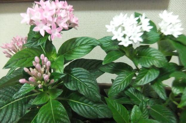 ペンタスの花  1