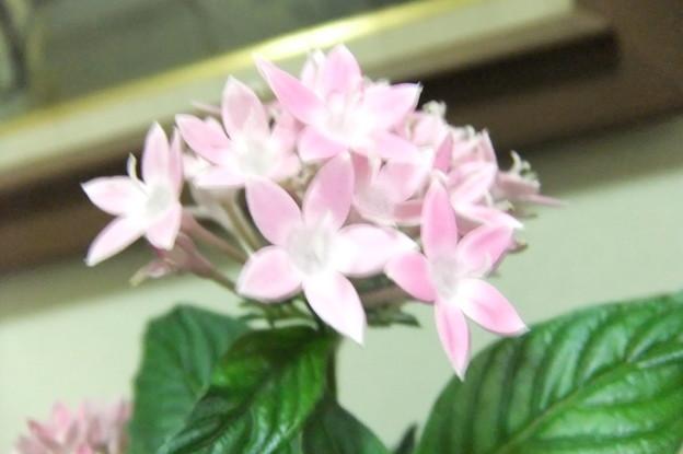 ペンタスの花  2