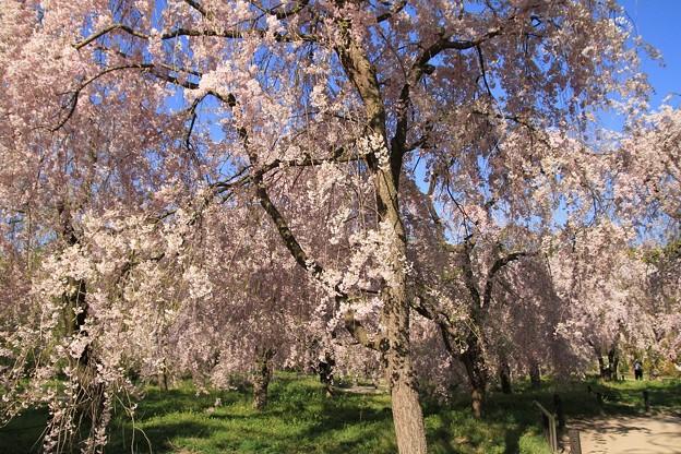 IMG_6407京都府立植物園・紅枝垂桜