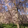 Photos: IMG_6407京都府立植物園・紅枝垂桜
