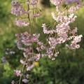 Photos: IMG_6413京都府立植物園・紅枝垂桜