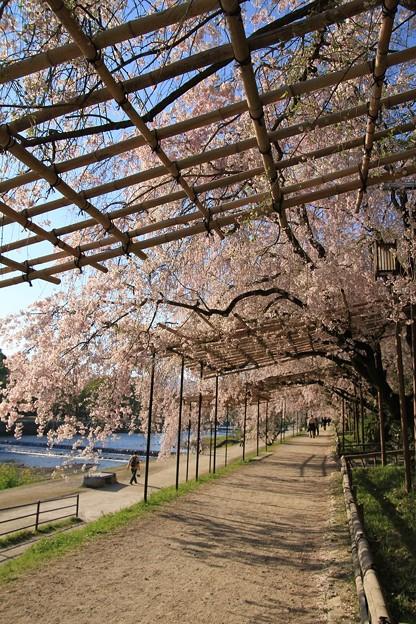 IMG_6450半木の道・紅枝垂桜