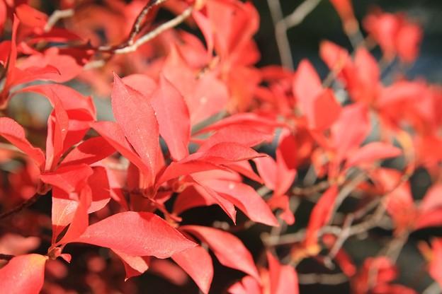 IMG_4587大徳寺・灯台躑躅の紅葉