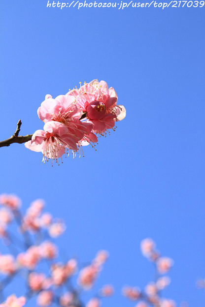 IMG_6697神苑・春の山・紅梅