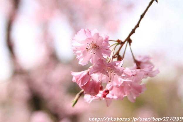 IMG_7049平安神宮・南神苑・八重紅枝垂桜