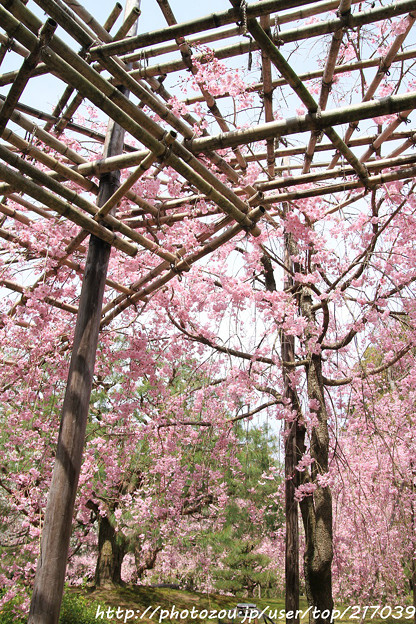 IMG_7053平安神宮・南神苑・八重紅枝垂桜