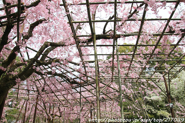 IMG_7081平安神宮・南神苑・八重紅枝垂桜