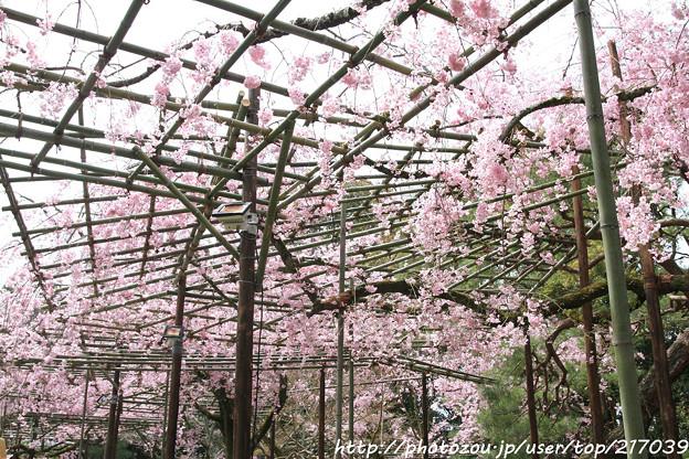 IMG_7099平安神宮・南神苑・八重紅枝垂桜