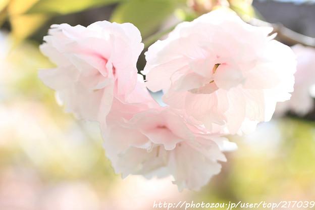 IMG_7679引接寺(千本ゑんま堂)・琴平桜