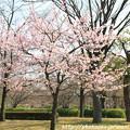 Photos: IMG_7957東寺(教王護国寺)(左大寺)・河津桜