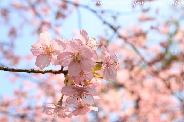 IMG_7971東寺(教王護国寺)(左大寺)・河津桜