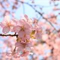 Photos: IMG_7971東寺(教王護国寺)(左大寺)・河津桜