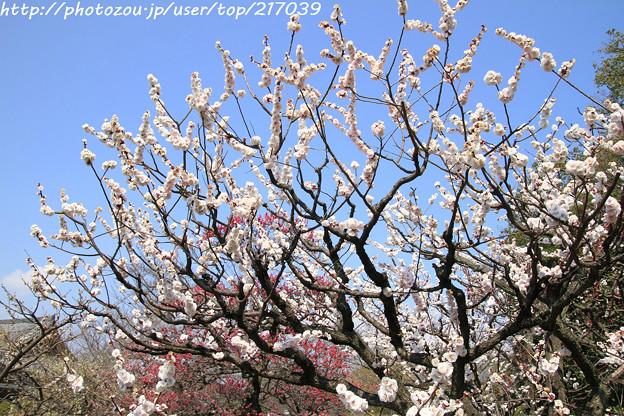 IMG_7980東寺(教王護国寺)(左大寺)・白梅