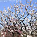 Photos: IMG_7980東寺(教王護国寺)(左大寺)・白梅