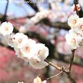 Photos: IMG_7988東寺(教王護国寺)(左大寺)・白梅