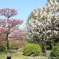 Photos: IMG_7990東寺(教王護国寺)(左大寺)・梅