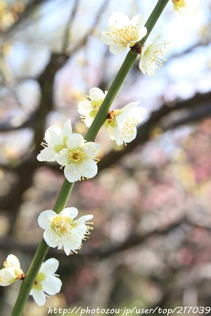 Photos: IMG_7993東寺(教王護国寺)(左大寺)・緑萼梅