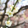 写真: IMG_7993東寺(教王護国寺)(左大寺)・緑萼梅