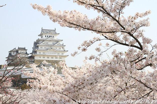 IMG_8107三の丸広場・姫路城(国宝)と染井吉野