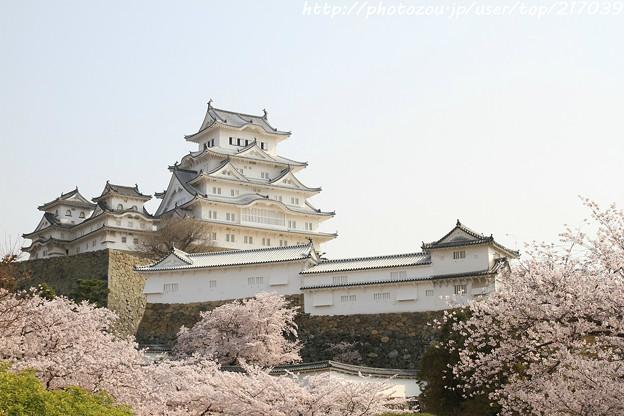 IMG_8116姫路城(国宝)と染井吉野