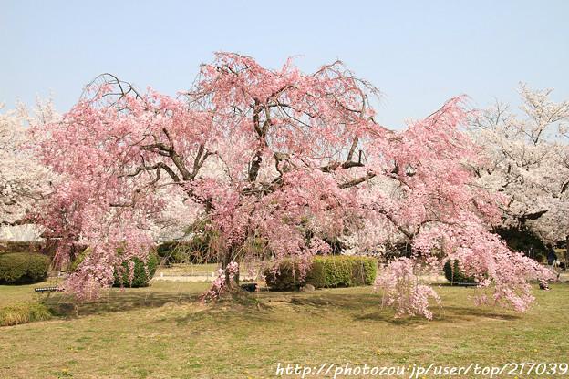 IMG_8133西の丸・紅枝垂桜