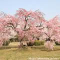 Photos: IMG_8133西の丸・紅枝垂桜