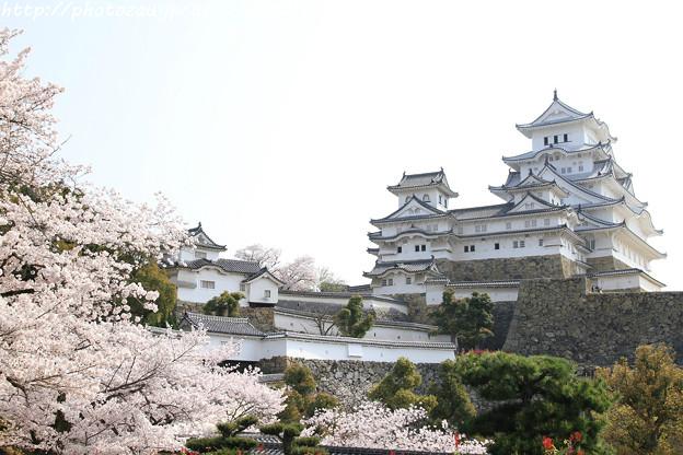 IMG_8142姫路城(国宝)と染井吉野
