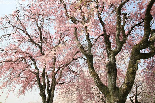 IMG_8143西の丸・紅枝垂桜