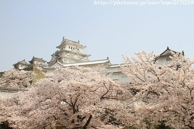 IMG_8171彦根城(国宝)と染井吉野