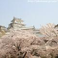 写真: IMG_8171彦根城(国宝)と染井吉野