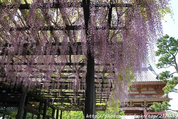 IMG_8179葛井寺・藤と南大門