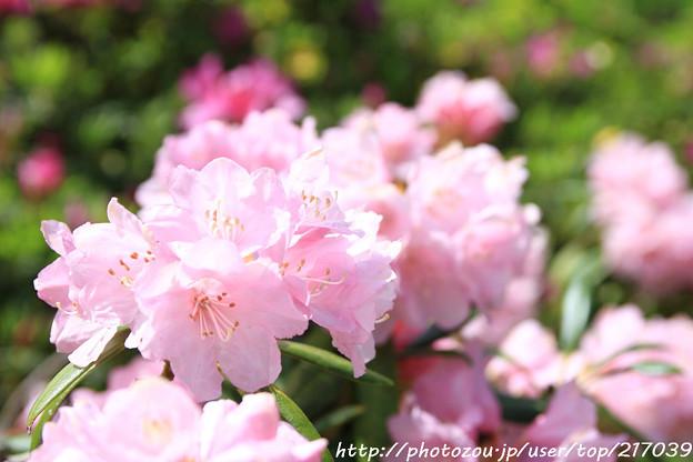 IMG_8292花の郷 滝谷花しょうぶ園・石楠花