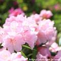 写真: IMG_8292花の郷 滝谷花しょうぶ園・石楠花
