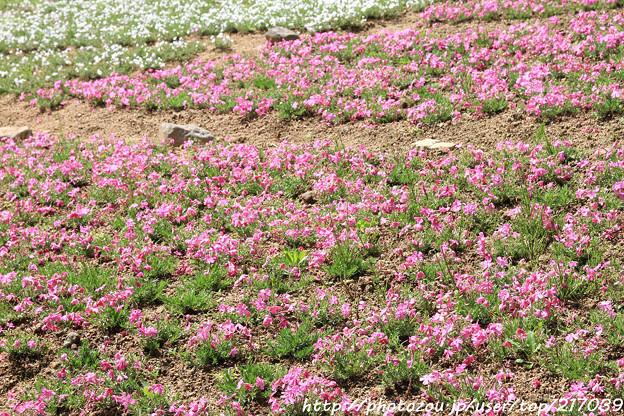 IMG_8297花の郷 滝谷花しょうぶ園・芝桜