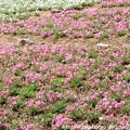 写真: IMG_8297花の郷 滝谷花しょうぶ園・芝桜